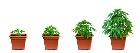 growing pot plants from seeds fast flowering seeds how to grow fast omg original genetics information