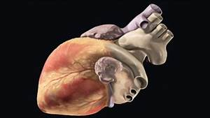 Overview of the Heart | BioEd Online