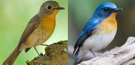Pupur pada perkutut jantan biasanya menyelimuti sebagian. 13+ Jenis Burung Tledekan Yang Wajib Diketahui - LUAR BIASA
