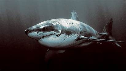 Shark Underwater Dark Sea Wallpapers Desktop Backgrounds