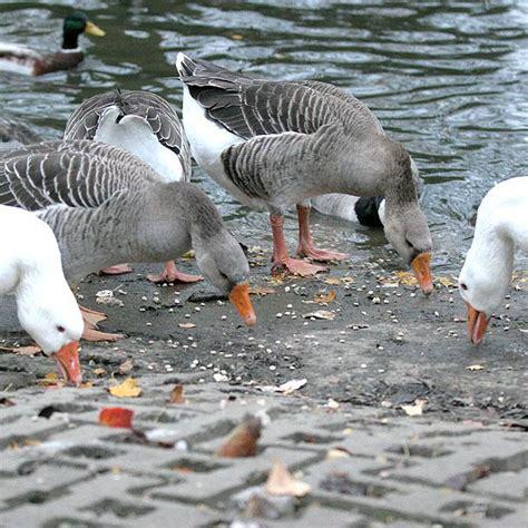 duck in cuisine duck food duck and swan floating food suppliers ark wildlife