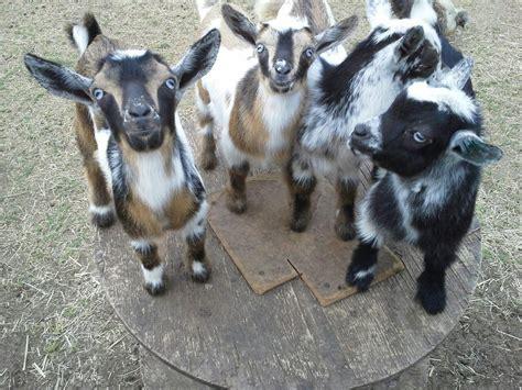 goatvet suggest goat breeders read  blog  dehorning  disbudding dehorning  goat