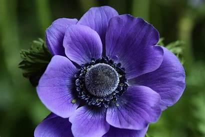 Anemone Flower Flowers Purple Anemones Weneedfun Plants