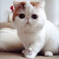 cutest cat breeds meet the cutest cat snoopybabe gallery