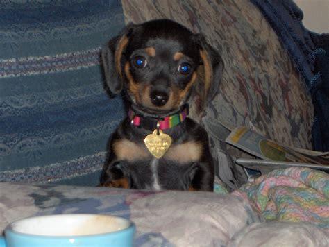 Chiweenie Apparently  Ee  Chihuahua Ee   Dachshund Chiweenie