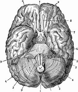 Brain Seen From Below