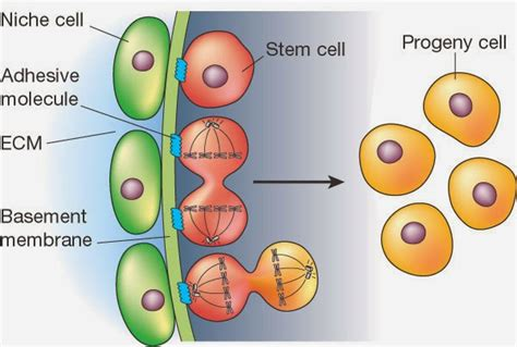 #31 Control Of Cell Division, Stem Cell, Haploid And