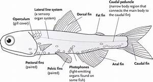 Is A Fish U2019s Tail Fin A Fin Or A Tail