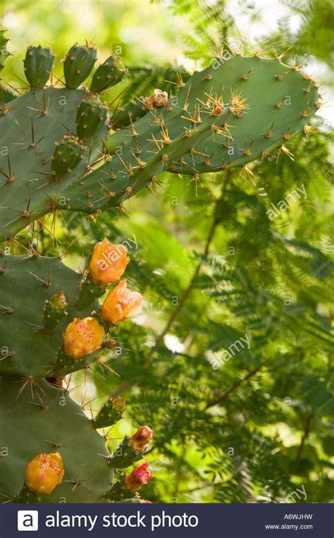 kaktus mit blüten kaktus mit bl 252 henden blumen stockfoto bild 11656500 alamy