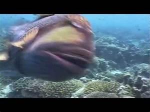 Frogfish Attacks Diver | FunnyDog.TV
