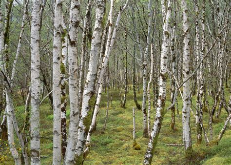 birch forest photography for sale quot birch forest quot 22 quot x30 quot gallery wrap canvas artsyhome