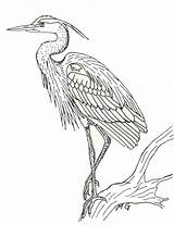 Coloring Heron Printablecolouringpages Larger Credit sketch template