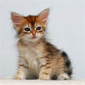 search cats siberian kittens search cats