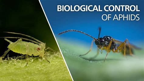 Biological Control Of Aphids  Aphidius Colemani Youtube