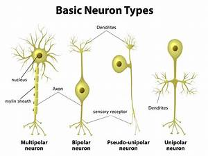 Location  Structure  And Functions Of The Unipolar Neuron