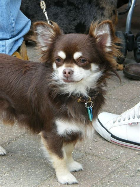 long haired toy chihuahua blue long haired chihuahuas