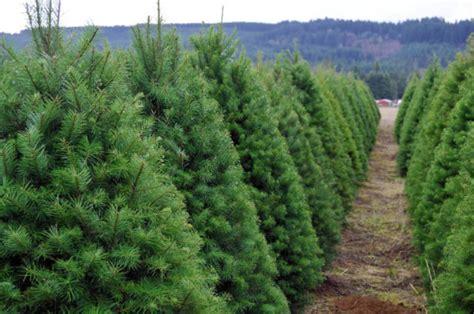 christmas tree farm business plan ogs capital