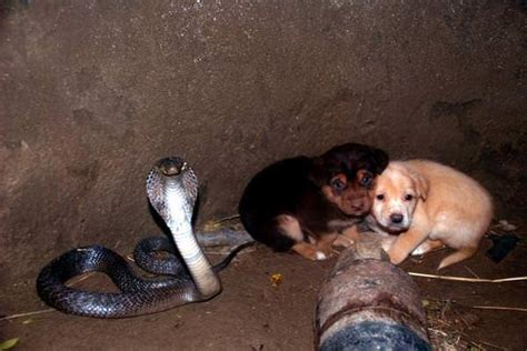 puppies fall  pit   cobra  hours