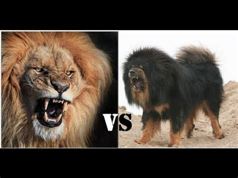 mongolian banhar strong   lion youtube