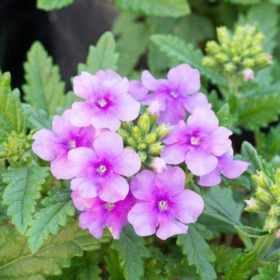 Understanding Verbena Differences A Guide To Different