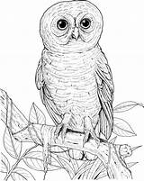 Owl Coloring Pages Eyed Owls Printable Lechuzas Burrowing Drawing Barn Realistic Animals Hoot Spotted Buhos Sheets Cute Adult Designlooter Birds sketch template