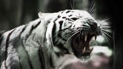 Jaguar Blanco Tigre Pantalla Fondos