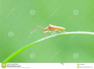 Rice Spike Bug Stock Image  Image Of Pattern  Chinese