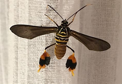 Texas Wasp Moth From Mexico Whats That Bug