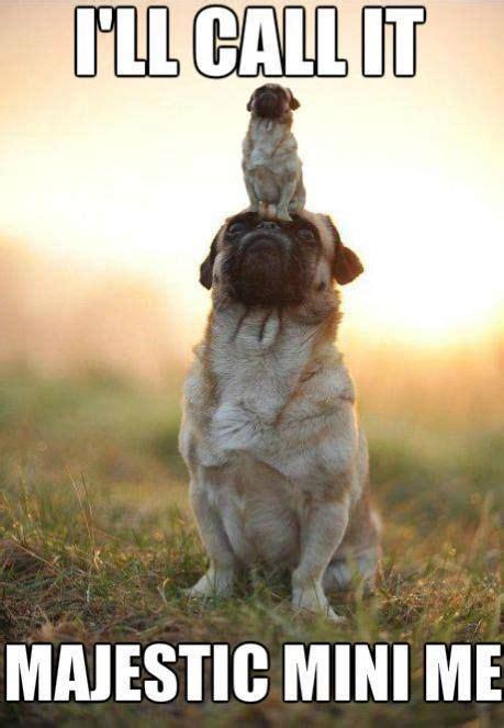 Funny Pug Meme - very cute pug mini me pug meme pug meme funny cute pugs