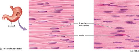 Read this uml guide and learn uml today. Module 4.4 Muscle Tissues   Human anatomy and physiology, Muscle tissue, Anatomy and physiology