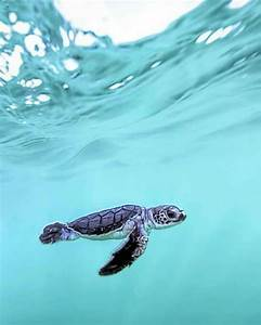 (19+) Amazing Baby Sea Turtle & Sea Turtle Facts | Baby ...