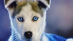 HD Background Siberian Husky Puppy Dog Blue Eyes Sled ...