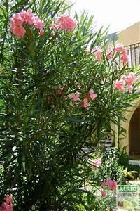 Comment Tailler Une Haie De Laurier : taille du laurier rose quand et comment jardipartage ~ Melissatoandfro.com Idées de Décoration
