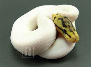 The gallery for --> Paradox Albino Pied Ball Python