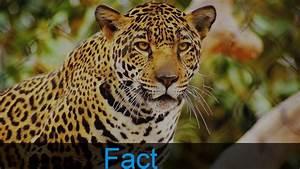 10 Amazing Jaguar Facts - YouTube  Jaguar
