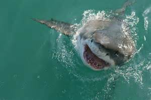Great White Shark Attacks Real