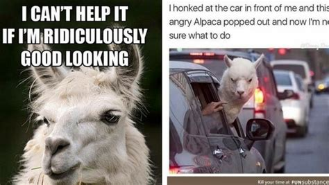 Alpaca Meme 38 Alpaca Memes That Will Either Be The Funniest Or