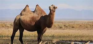 Course De Chameau : l 39 australie a la plus grande population de chameaux dans le monde le saviez vous ~ Medecine-chirurgie-esthetiques.com Avis de Voitures