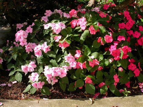 Fleißiges Lieschen Bilder by Blumen 2005
