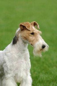 pictures  wire haired fox terrier slideshow