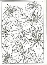 Coloring Tiger Lily Lilly Adults Colouring Sheets Printable Fave sketch template