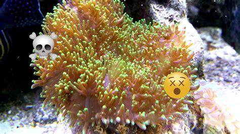 rhodactis mushroom corals deadly