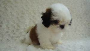 Brown And White Shih Tzu Puppies | www.pixshark.com ...