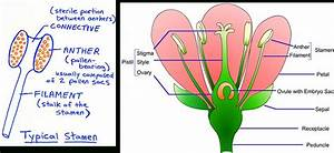 Reproductive System In Flowering Plant - Human Body ...