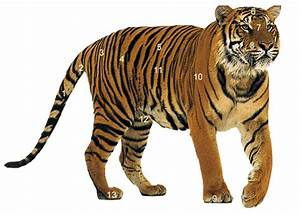 Tiger Facts Photos And Videos  Siberian Tiger  Bengal