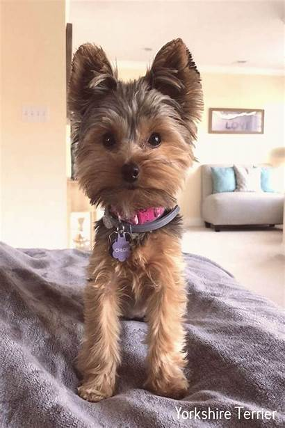 Terrier Yorkie Yorkshire Teacup Puppies Haircut Puppy