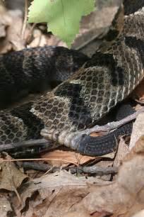 Timber Rattlesnake Snake Bite