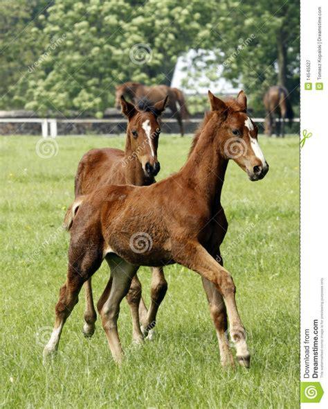 young horses jonge paarden pferde junge horse giovani cavalli
