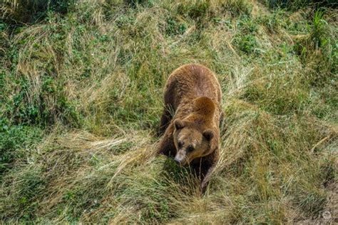 brown bear   grass background high quality