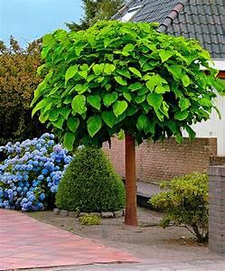 Kugel Trompetenbaum Schneiden : kaufen sie jetzt baum trompetenbaum kaufen ~ Lizthompson.info Haus und Dekorationen